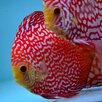 Дискус красная панда по цене 6000₽ - Аквариумные рыбки, фото 2