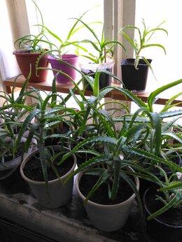 Комнатные растения - Алоэ растения продам в г. Одинцово, 0