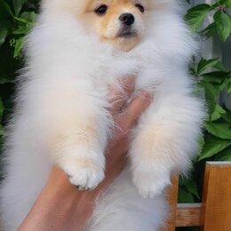 Собаки - Шпиц померанский щенки, 0