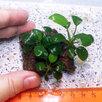 Жестколистное аквариумное растение Анубиас Нана на лаве по цене 500₽ - Растения для аквариумов и террариумов, фото 1