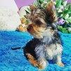 Йоркширский терьер щенки по цене 20000₽ - Собаки, фото 3