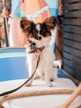 Собаки - Продаю щенка Папильона, 0