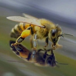 Сельскохозяйственные животные и птицы - Пчелопакеты Карника с доставкой 2022, 0