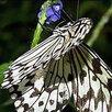 Живые тропические бабочки сильвия архиридис по цене 600₽ - Рассада, саженцы, кустарники, деревья, фото 7