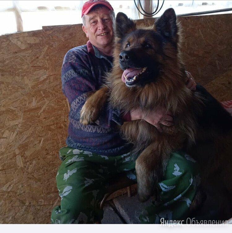 вязка,мальчик ,немец по цене 6000₽ - Услуги для животных, фото 0