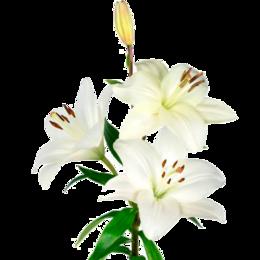 Луковичные растения - Флорико Лилия белая (цена за штуку),  см, 0