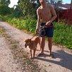Красавец Рыжий пес 2 г по цене даром - Собаки, фото 4