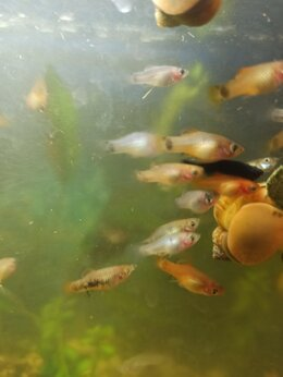 Аквариумные рыбки - Аквариумные рыбки пецилии по 1,5-2см, 0