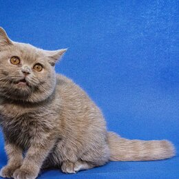 Кошки - Британская короткошерстная кошечка, 0