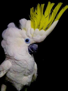 Птицы - Желтохохлый какаду - ручные птенцы из питомника, 0