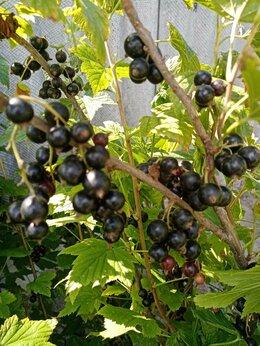 Рассада, саженцы, кустарники, деревья - Саженцы чёрной смородины, 0