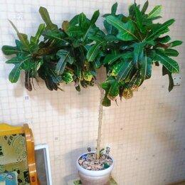 Комнатные растения - Кратон, 0