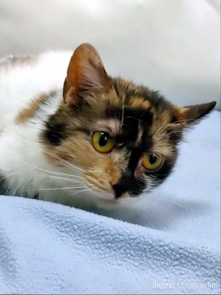 Кошечка с уникальным окрасом Калико  по цене даром - Кошки, фото 0