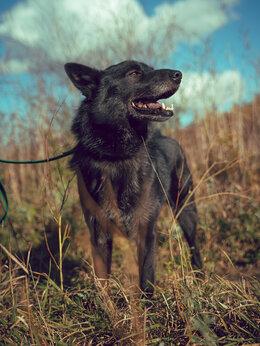 Собаки - Угольно-чёрный мальчик размером с бигля, 0
