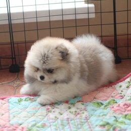 Собаки - Продаются щенки померанского шпица мальчики, 0