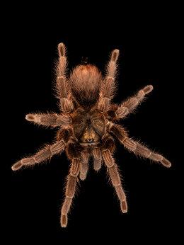 Другие - Phormictopis auratus малыши паука-птицееда L5, 0