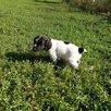 Русский охотничий спаниель по цене 6000₽ - Собаки, фото 0
