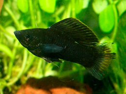 Аквариумные рыбки - Моллинезия Велифера черная Нигра парусная, 0