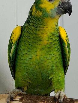 Птицы - Синелобый амазон (Amazona aestiva) - ручные…, 0