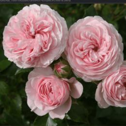 """Комнатные растения - Роза флорибунда """"Larissa"""" (Лариса) (HLK/С5/////), 0"""