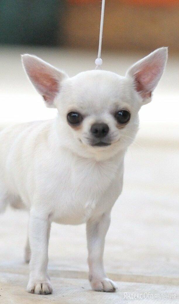 чихуахуа приглашаем невест по цене 1₽ - Собаки, фото 0