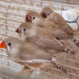Птицы - Зебровые амадины, 0