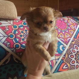 Собаки - Мини девочка чихуахуа, 0