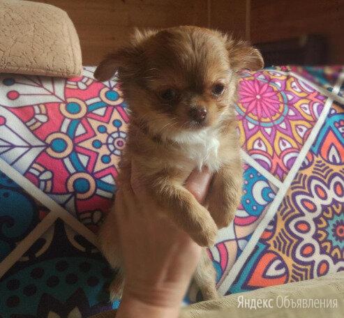 Мини девочка чихуахуа по цене 6000₽ - Собаки, фото 0