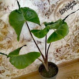 Комнатные растения - Алоказия MACRORRHIZA STINGRAY (ДОМАШНЯЯ) 🌺🤗, 0