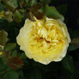 """Комнатные растения - Роза флорибунда """"Solero"""" (Солеро) (HLK/С5/////), 0"""