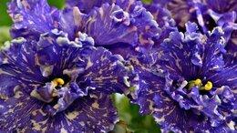 Комнатные растения - Фиалка пестролистная, 0