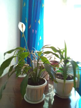 Комнатные растения - Цветы, 0