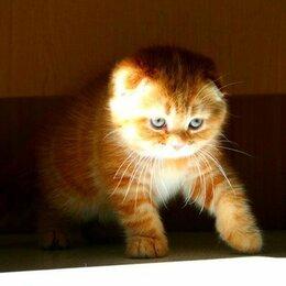 Кошки - рыжий вислоухий котик, 0