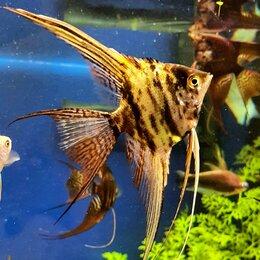 Аквариумные рыбки - Аквариумные рыбки. Скалярия , 0
