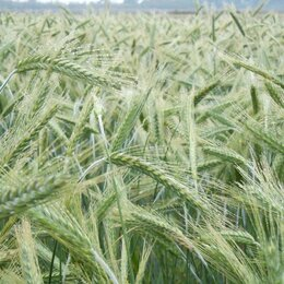 Семена - Продам семена яровая тритикале - сорт ГРЕБЕШОК (ОС-РС), 0