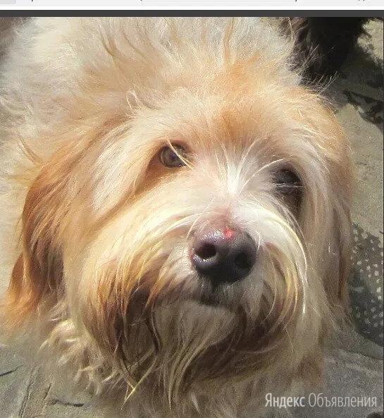 лохматое солнышко по цене даром - Собаки, фото 0