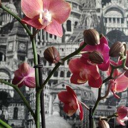 Комнатные растения - Фаленопсис scention, 0