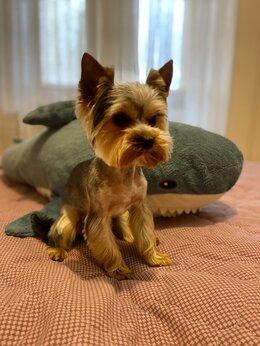 Собаки - Йорк вязка, 0