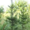 Кедр сибирский по цене 1500₽ - Рассада, саженцы, кустарники, деревья, фото 1