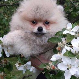 Собаки - Помнранский шпиц, 0