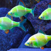 Барбус Гонконг зеленый Глофиш по цене 180₽ - Аквариумные рыбки, фото 0