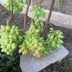 Саженцы винограда Северо - Западного региона по цене 200₽ - Рассада, саженцы, кустарники, деревья, фото 5