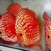 Дискус красная панда по цене 6000₽ - Аквариумные рыбки, фото 13