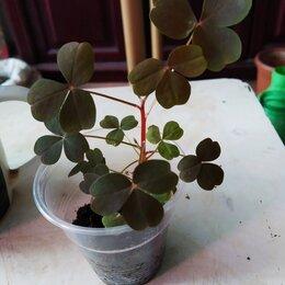 Комнатные растения - оксалис вулканический клевер кислица, 0