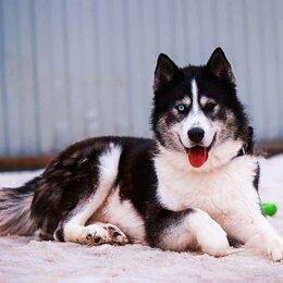 Собаки - Хаски даром, 0