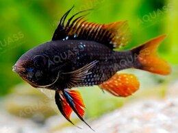 Аквариумные рыбки - Апистограмма Рамирези черная, 0
