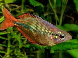 Аквариумные рыбки - Меланотения радужница Аксельрода, 0