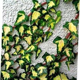 Рассада, саженцы, кустарники, деревья - Плющ Голдхарт вечнозеленый выносливый сорт, 0