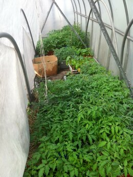 Рассада, саженцы, кустарники, деревья - Рассада помидор, семена овощей, 0