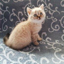 Кошки - Котёнок Шотландская Прямоухая Девочка , 0